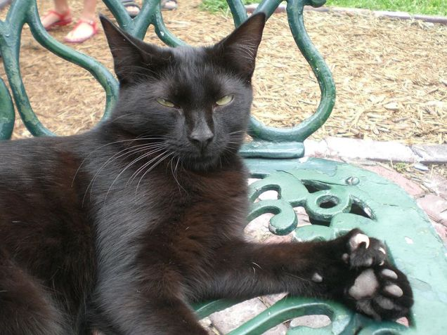 One of the polydactyl cats at the Ernest Hemingway House in Key West, Florida. This particular cat has 26 toes, two extra on each paw. (Wikipedia)