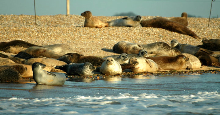 "Seehunde, lazy seals on Blakeney Point seen from ""Circe"""