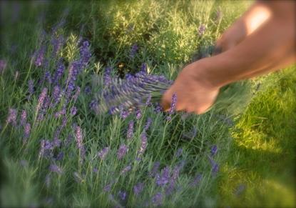 Rhu Sila, Lavender Garden, Cley, Norfolk Photo: Hanne Siebers