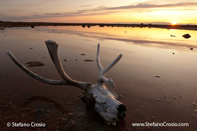 CANADA, NunavutSunset over tundra pond with caribou (Rangifer tarandus) skull