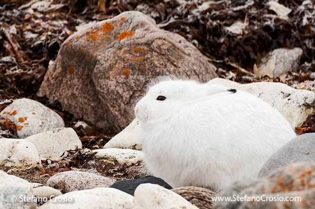 CANADA, Churchill (Hudson Bay)Arctic hare (Lepus arcticus) in winter coat