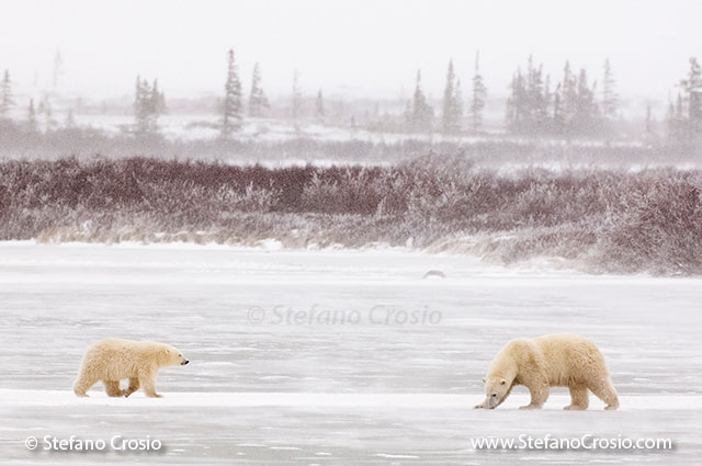 CANADA, Churchill (Hudson Bay)Polar bear (Ursus maritimus) sow with cub