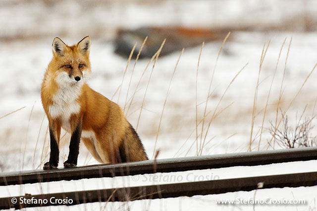 CANADA, Churchill (Hudson Bay)Red fox (Vulpes vulpes) near rail tracks