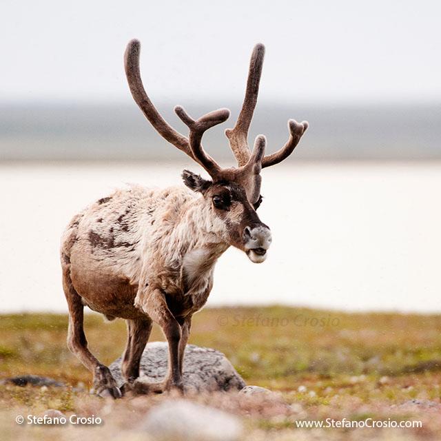CANADA, NunavutBarren-ground caribou (Rangifer tarandus groenlandicus) bull