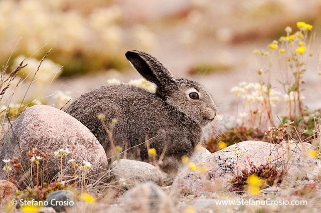 CANADA, Nunavut Arctic hare (Lepus arcticus) in summer coat