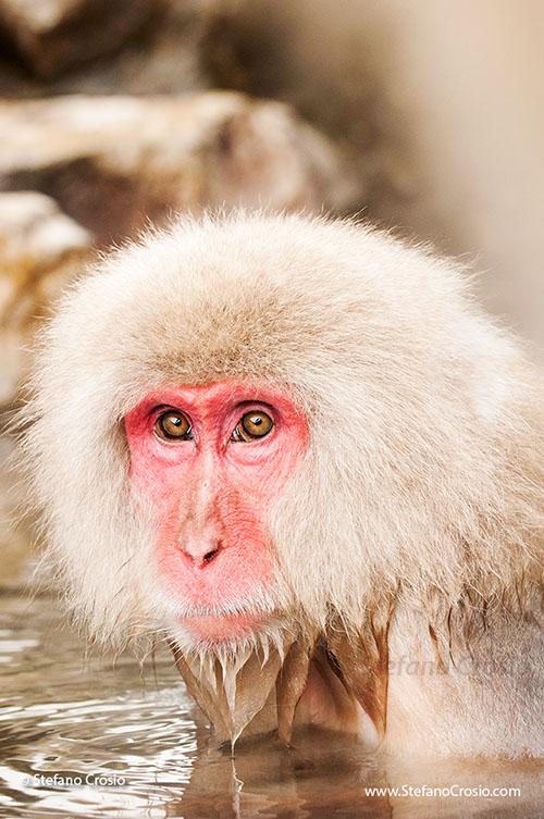 JAPAN, Jigokudani Yaen-koen, Nagano (Honshu) Snow monkey (Macaca fuscata)