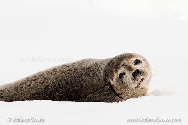 JAPAN, Eastern Hokkaido Spotted seal (Phoca largha)