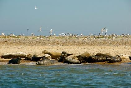DSC_0051Seals at Blakeney Point, Norfolk, UK Foto: Hanne Siebers