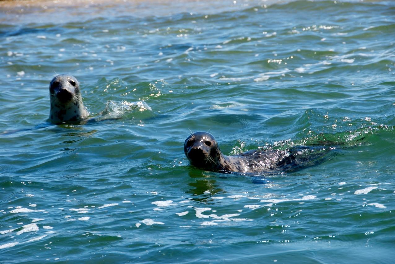 DSC_0065 Seals at Blakeney Point, Norfolk Foto: Hanne Siebers