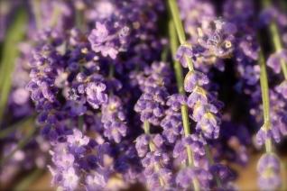 Lavendel2 005, Cley, Norfolk, Foto: Hanne Siebers