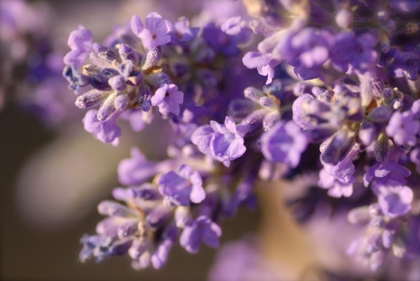 Lavendel2 011, Cley next the Sea, Norfolk, Foto: Hanne Siebers