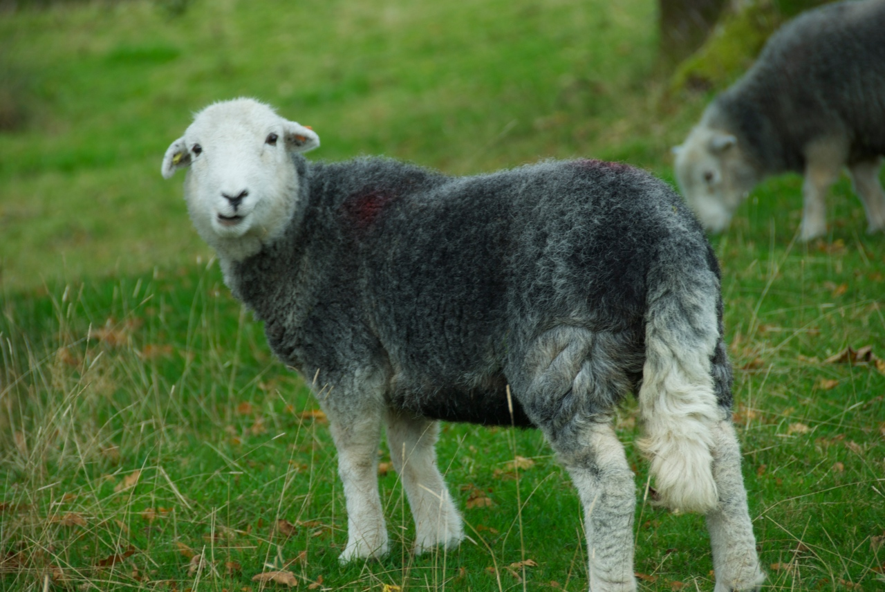 Hanne Siebers, Herdwick Sheep, Lake District DSC_0161