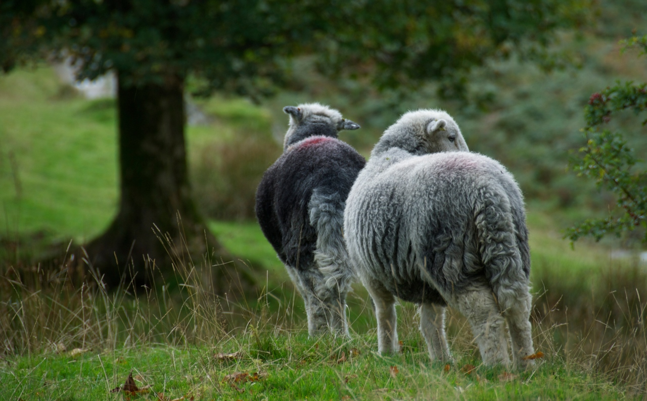 Hanne Siebers; Herdwick Sheep, Lake District, England, 2013