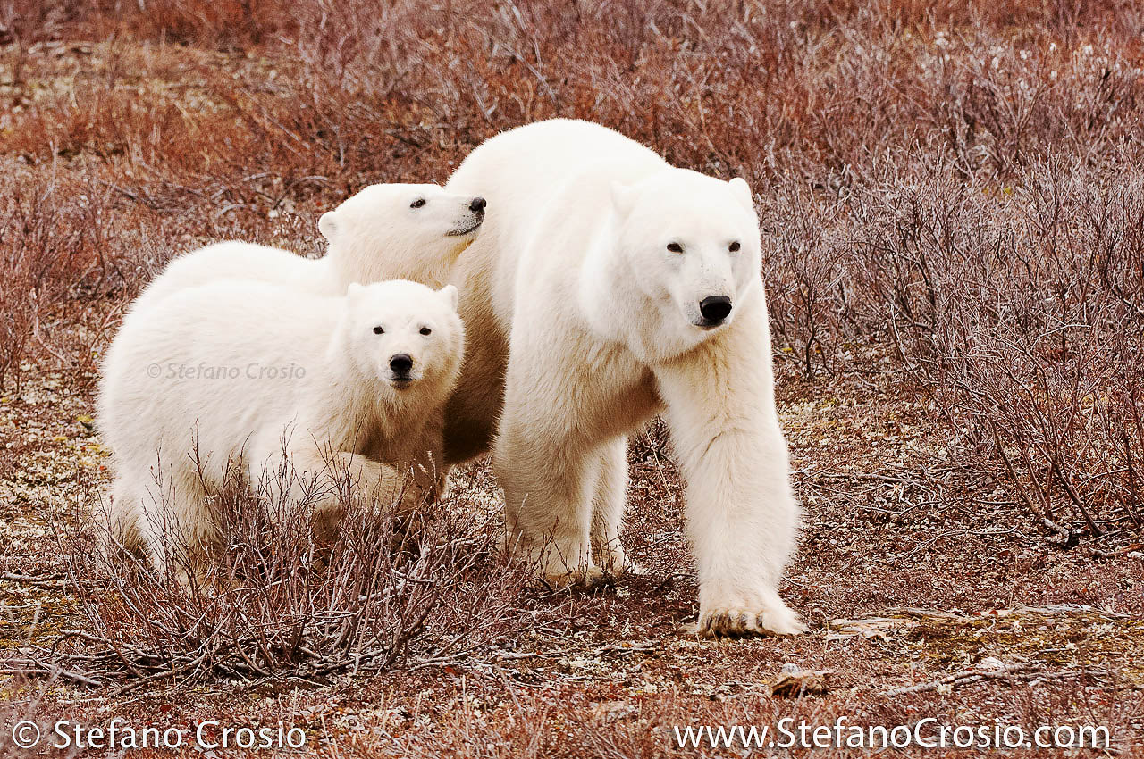 CANADA, Churchill (Hudson Bay) Polar bear (Ursus maritimus) with cubs