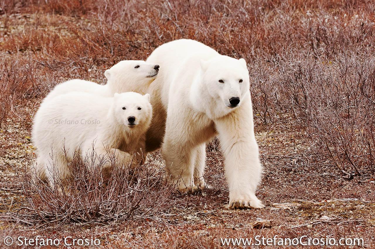 CANADA, Churchill (Hudson Bay) Polar bear (Ursus maritimus) with cubs