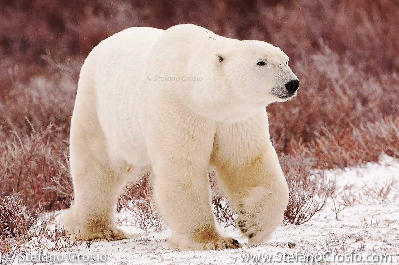 CANADA, Churchill (Hudson Bay) Polar bear (Ursus maritimus)