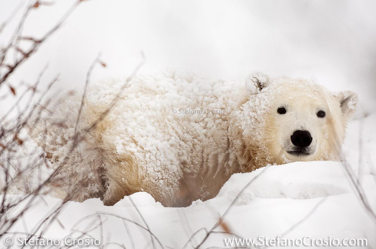 CANADA, Churchill (Hudson Bay) Young polar bear (Ursus maritimus)