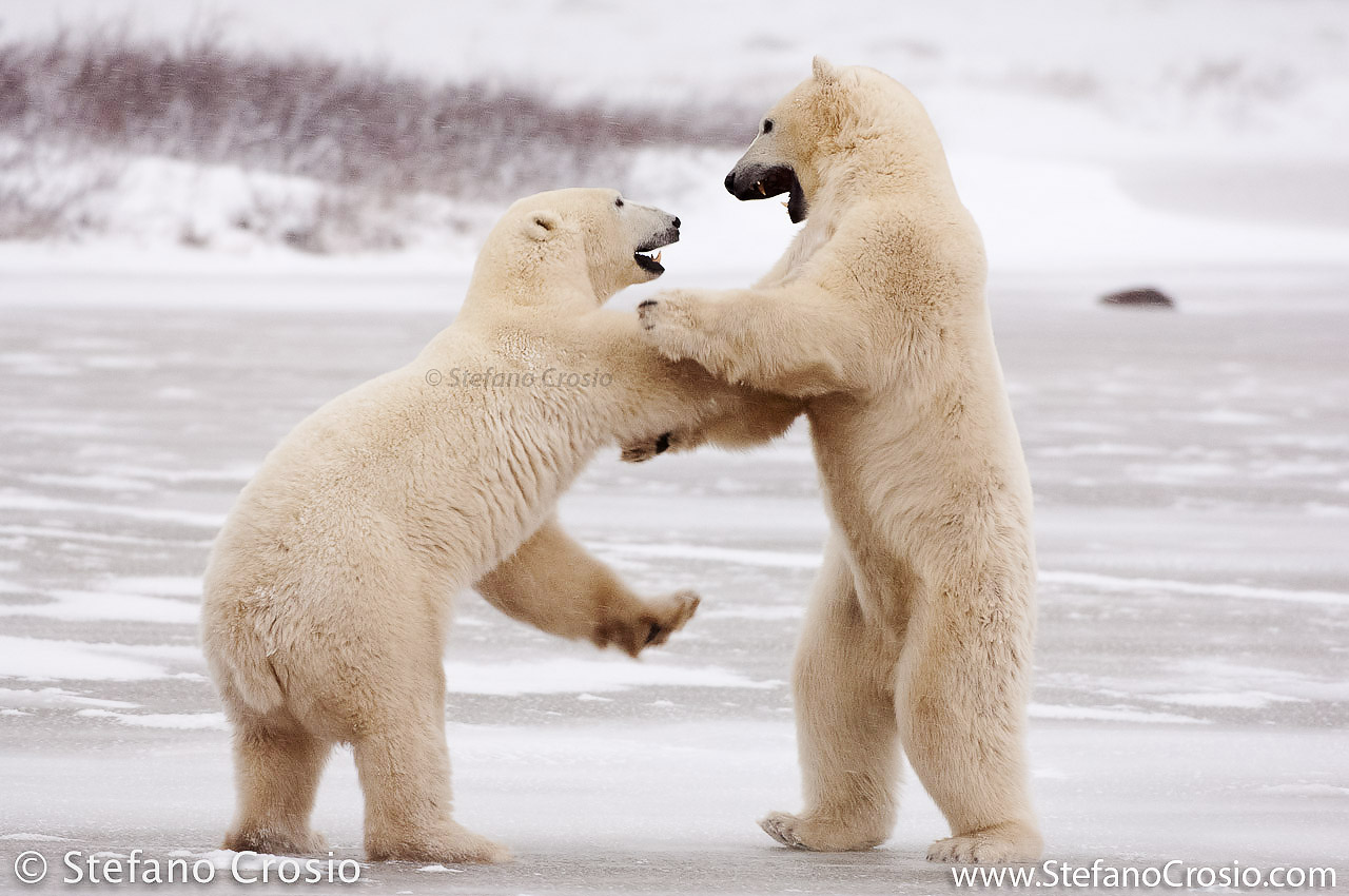 CANADA, Churchill (Hudson Bay) Polar bears (Ursus maritimus) play-fighting