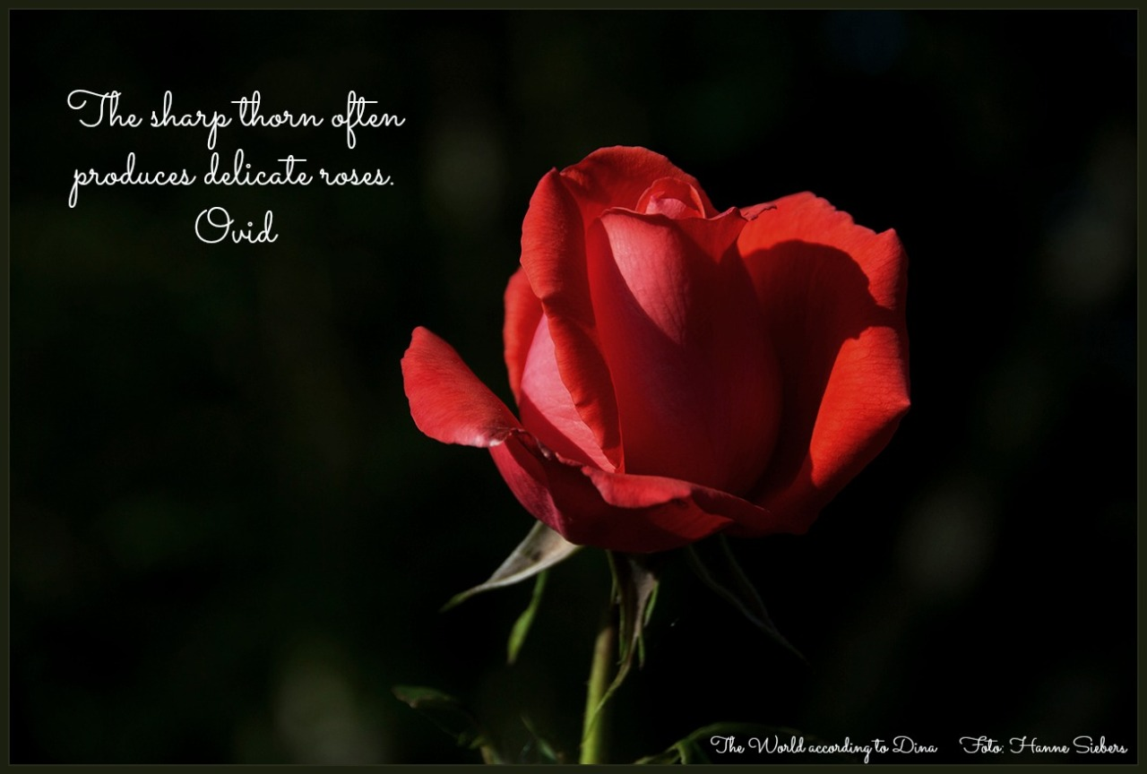 Symbolism of the Rose | The World according to Dina