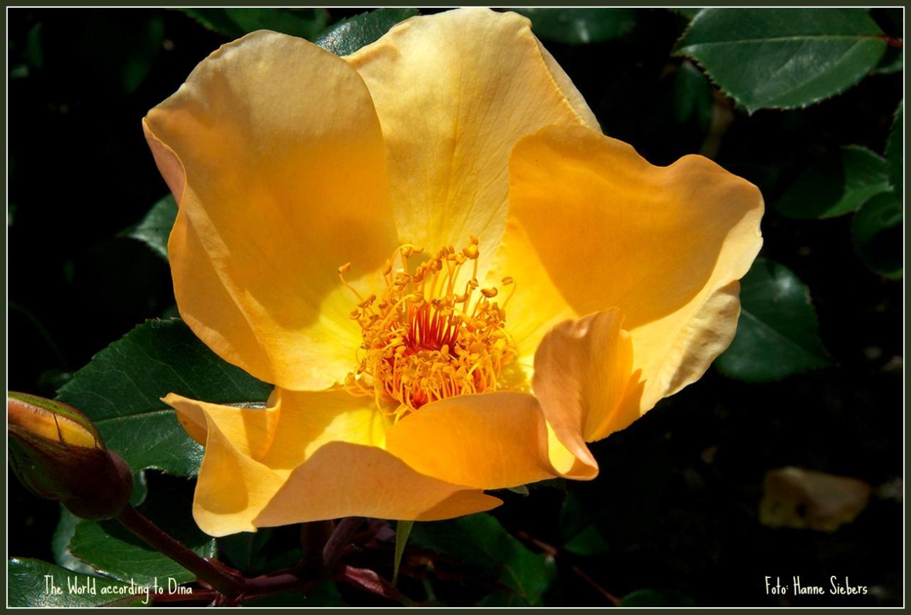 Rose_gelb02