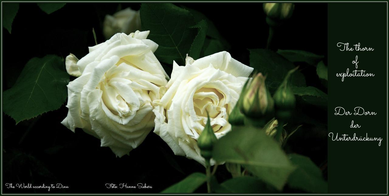 Weisse_Rose