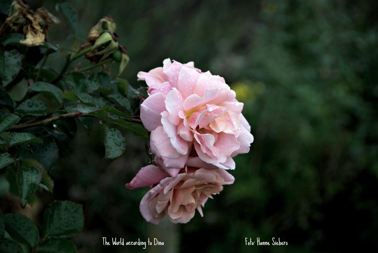 Rose_Joan