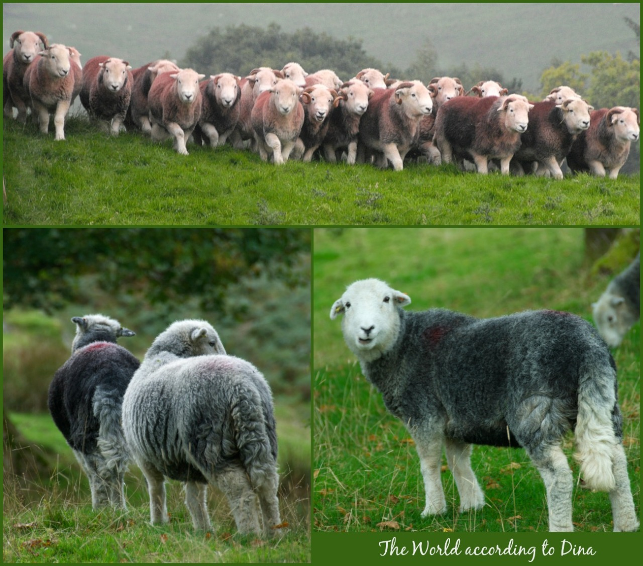 Herdwicks_collage_Hanne_Siebers