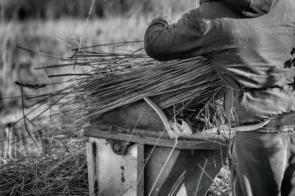 Reeds08a_hannesiebers