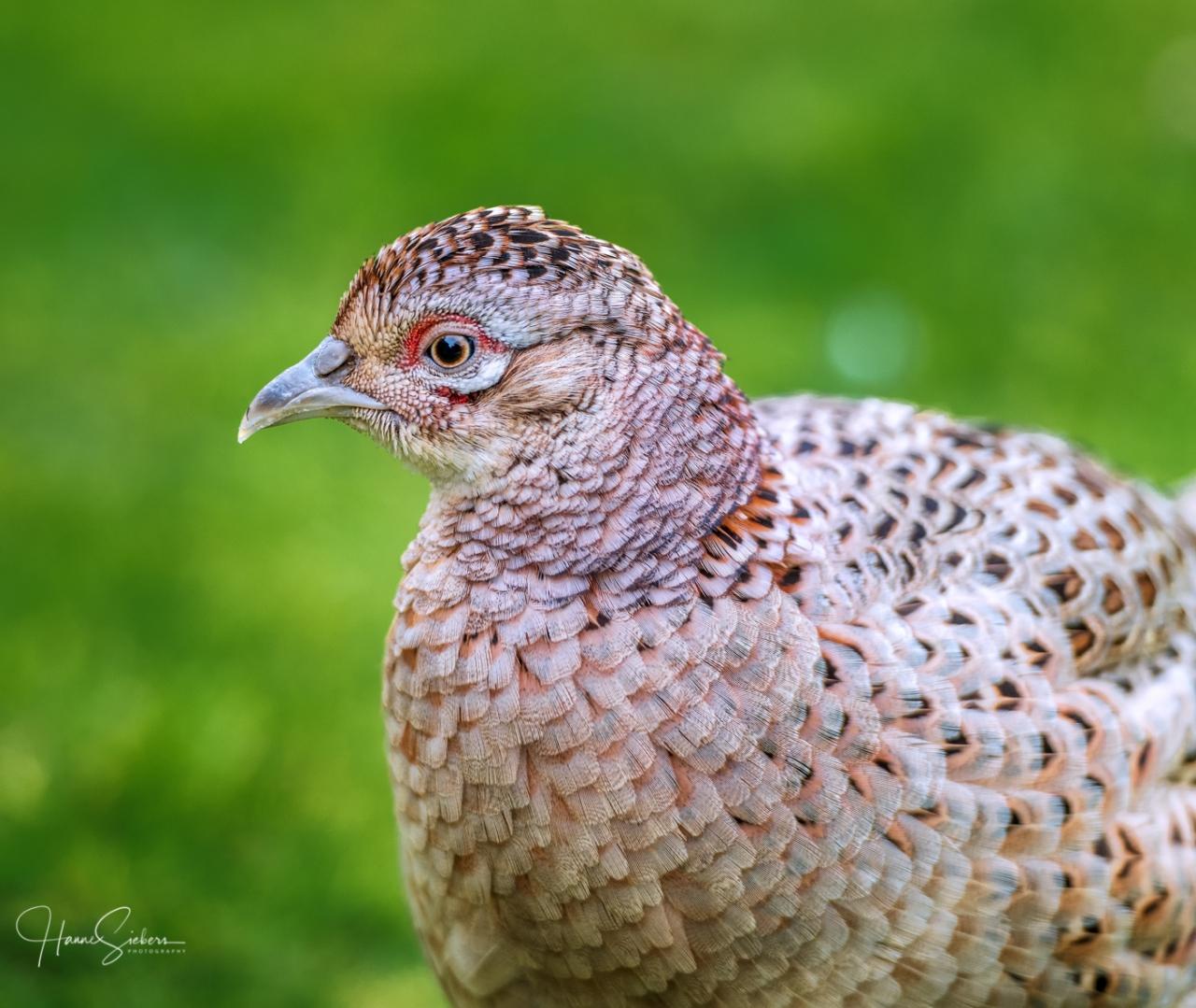 Female hen in our garden 2019